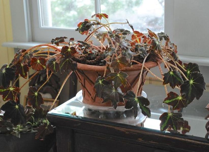 Để cây khô và chết trong nhà không đem lại may mắn trong cuộc sống cho gia chủ